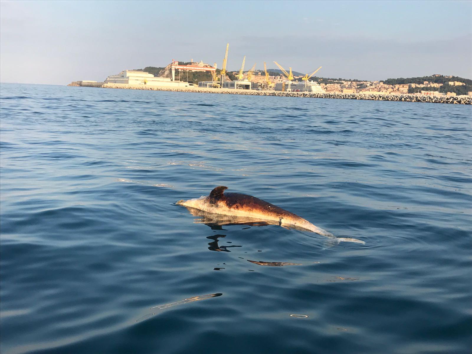 Delfino morto al largo del porto cronache ancona