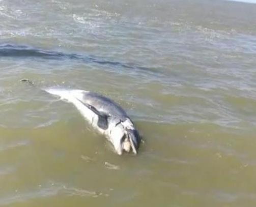 Marea scura a falconara e due delfini spiaggiati: scattano i