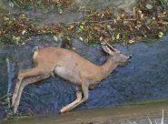Uno degli animali trovati nel canale di Serra San Quirico dai volontari dell'Enpa
